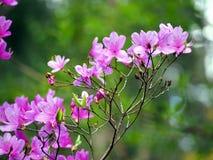 Ljusa rosa färgblommor för azalea Royaltyfri Foto