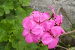 Ljusa rosa färger behandla som ett barn pelargon Royaltyfri Foto