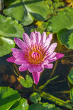 Ljusa rosa färger blommar waterlily och sidor i ett damm Royaltyfri Bild