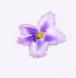 Ljusa rosa färger, markerad purpurfärgad violet Royaltyfri Fotografi