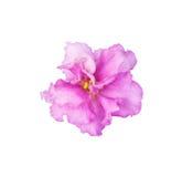 Ljusa rosa färger, markerad purpurfärgad violet Royaltyfria Foton