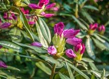 Ljusa rosa knoppar av rhododendronblommor, som ska blomstra snart royaltyfria bilder