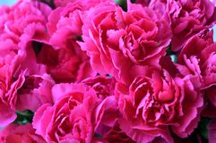 Ljusa rosa nejlikor Arkivfoto