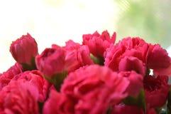 Ljusa rosa nejlikor arkivfoton
