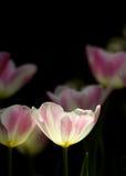 Ljusa rosa och vita tulpan Fotografering för Bildbyråer