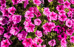 Ljusa rosa petunior som naturlig bakgrund Royaltyfri Fotografi