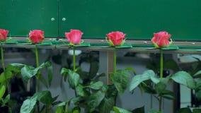 Ljusa rosa rosor som är rörande på att bearbeta linjen karusell på blommafabriken 4K lager videofilmer
