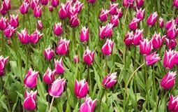 Ljusa rosa tulpan som naturlig bakgrund Royaltyfria Foton