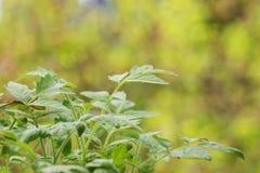 Ljusa sidor av en ung plantatomat Arkivbilder