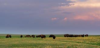 Ljusa sken för afton över flocken av den betande bisonen arkivfoto