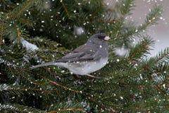 ljusa snowfall för junco Royaltyfri Fotografi