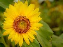 Ljusa solrosor i morgonen royaltyfri bild