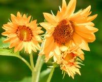 Ljusa solrosor i trädgården royaltyfri fotografi