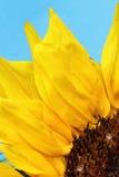 Ljusa solrosor stänger sig upp på ett ljus - blå bakgrund Royaltyfri Fotografi