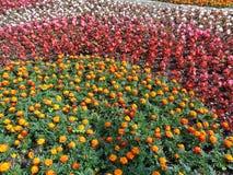 Ljusa sommarblomsterrabatt, ringblommor och begonior som landskap Royaltyfri Fotografi