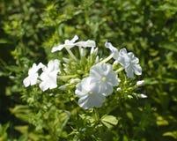 Ljusa Sunny White Phlox Flowers arkivbild