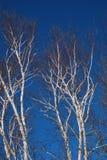 Ljusa träd för vit björk mot en djupblå sen vinterhimmel 2 Arkivfoto