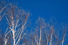 Ljusa träd för vit björk mot en djupblå sen vinterhimmel 3 Royaltyfri Bild