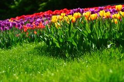 Ljusa tulpan i gräset Royaltyfri Bild