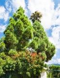 Ljusa två - gröna granar med mycket fluffigt ris royaltyfria foton