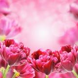 Ljusa vårtulpanblommor, blom- bakgrund Royaltyfria Bilder