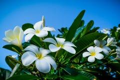 Ljusa vita frangipaniblomningar royaltyfri fotografi