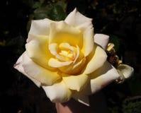 Ljusgula Rose Arkivbild