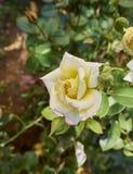 Ljusgula Rose Arkivfoto