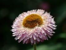 Ljusröd blomma royaltyfri fotografi