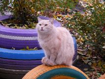 Ljusröd kattdrömmare arkivfoto
