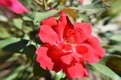 Ljusröd rosblomma i morgonsolljuset Royaltyfri Foto