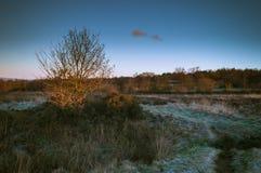 Ljust avbrott för guld- gryning på ett ensamt träd på en djupfryst Wetley hed royaltyfri foto