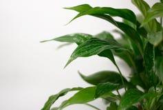 Ljust bakgrunds- och kopieringsutrymme Suddighetsnärbild på ett nytt grönt blad, efter regn med vattendroppar Botanisk lövverknat arkivfoto