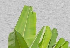 Ljust bananblad på träväggbakgrund Arkivfoton