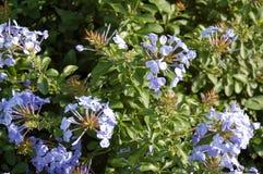 Ljust - blå vanlig hortensia i en grön trädgård royaltyfria bilder