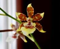 Ljust blomma den orkidéOncidium sceptrumen arkivfoto