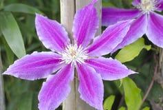 Ljust - blomma för purpurfärgad klematis nära trästaketet royaltyfria bilder