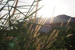 Ljust - bruna blommor av gräs med solljus i aftonen för stadsbakgrund, djup av fältet royaltyfri bild