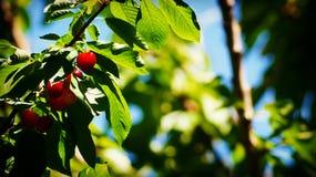 ljust Cherry royaltyfria bilder