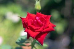 Ljust dagsljus f?r r?da rosor bak den suddiga bilden royaltyfri fotografi