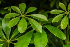 Ljust - den gröna Monstera växten lämnar closeupsikt Arkivfoton