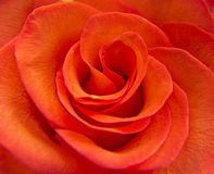 Ljust en röd rosa närbild Royaltyfri Bild