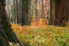 Ljust färgad skogskornell som växer bland träd för jätte- sequoia Royaltyfri Bild