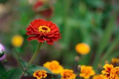 Ljust färgrikt slut upp av en röd härlig blomma av zinniaelegansen eller den gemensamma zinniaen i trädgården, bästa sikt, på royaltyfria foton