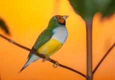 Ljust fågelslut upp Arkivfoto