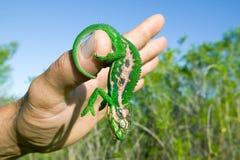 Ljust färgad kameleont på den mänskliga handen i Cape Town, Sydafrika Royaltyfri Foto