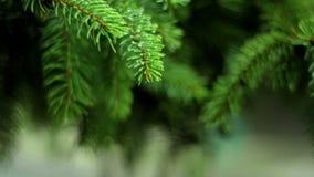 Ljust - grön GRAN fattar med vått från regnsmå droppar stock video