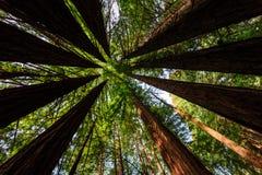 Ljust - grön lövverk skapar cirkelmodellen av kust- redwoodträdträd. Royaltyfri Fotografi