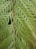 Ljust - grön ormbunke Royaltyfri Bild