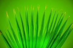 Ljust - grön spridningpalmblad på grön bakgrund Arkivfoto